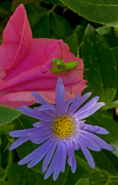 Praying Mantis on Purple and Pink Flowers