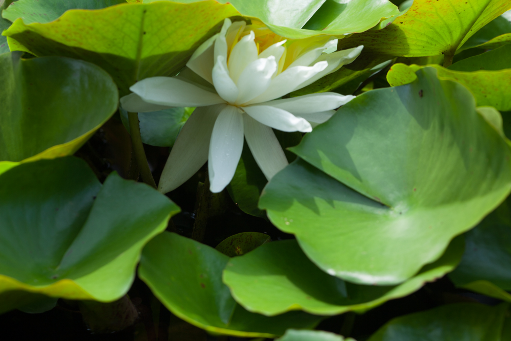 White Water Lily Surrounded by Green Leaves