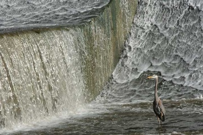 Heron in waterfall Scioto Dam