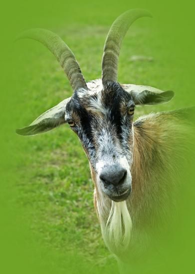 billy goat wildlife photography