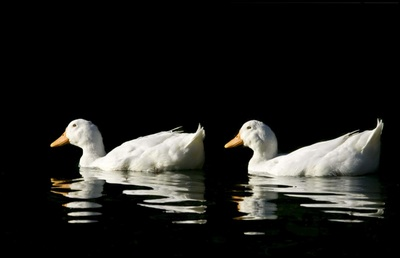 White duck pictures