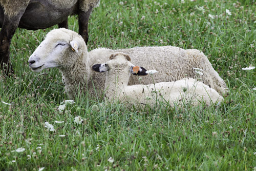 Mother Sheep with Baby Lamb