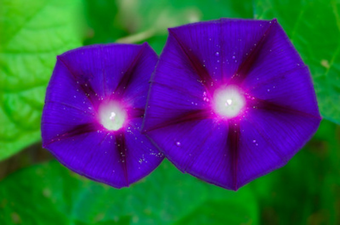 Purple and Blue Morning Glory