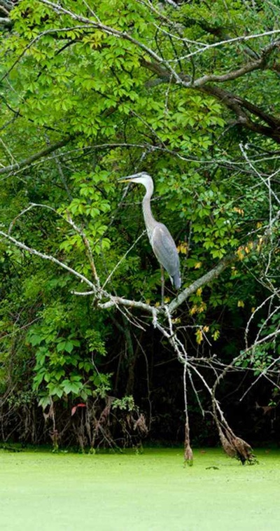 blue heron nature photography