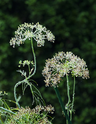 Queen Anne's Lace at Inniswood Metro Gardens Columbus, Ohio