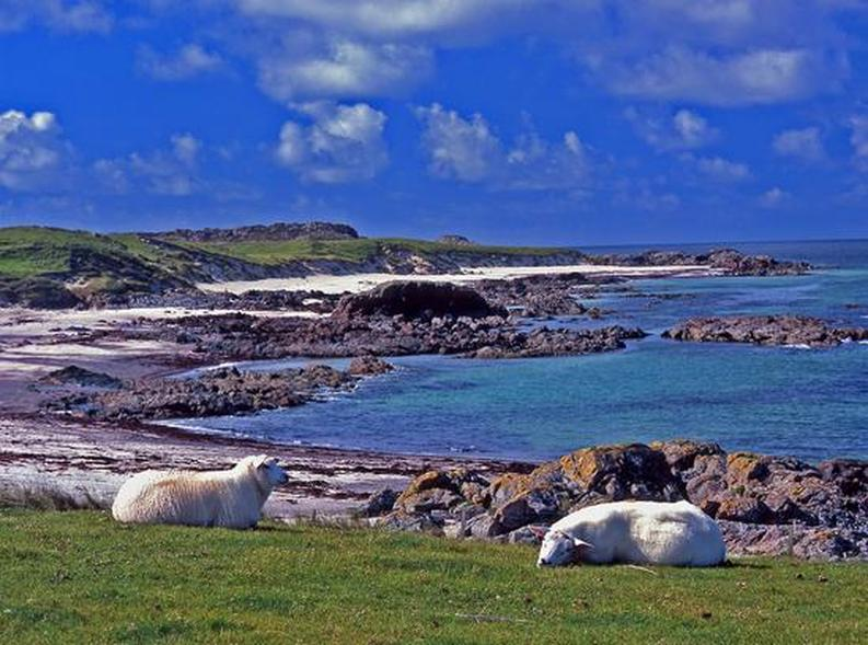 Iona Scotland Sheep