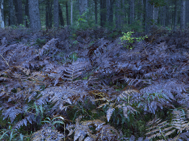 A Forest of Ferns near Graylng, Michigan Nature Photography