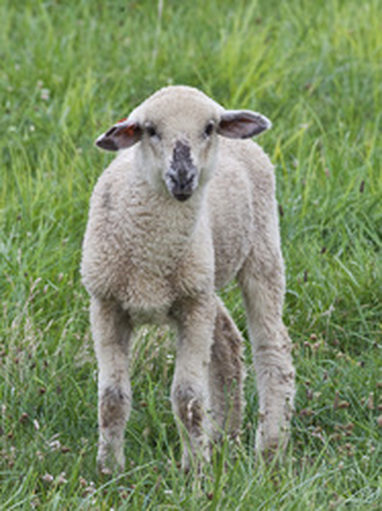 White lamb picture
