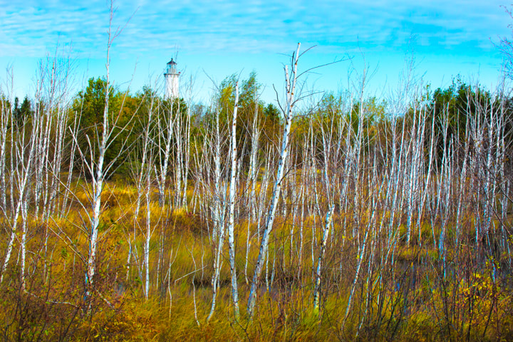 Birch in colorful meadow with Tawas Point lighthouse in the background -  Michigan Nature Photography