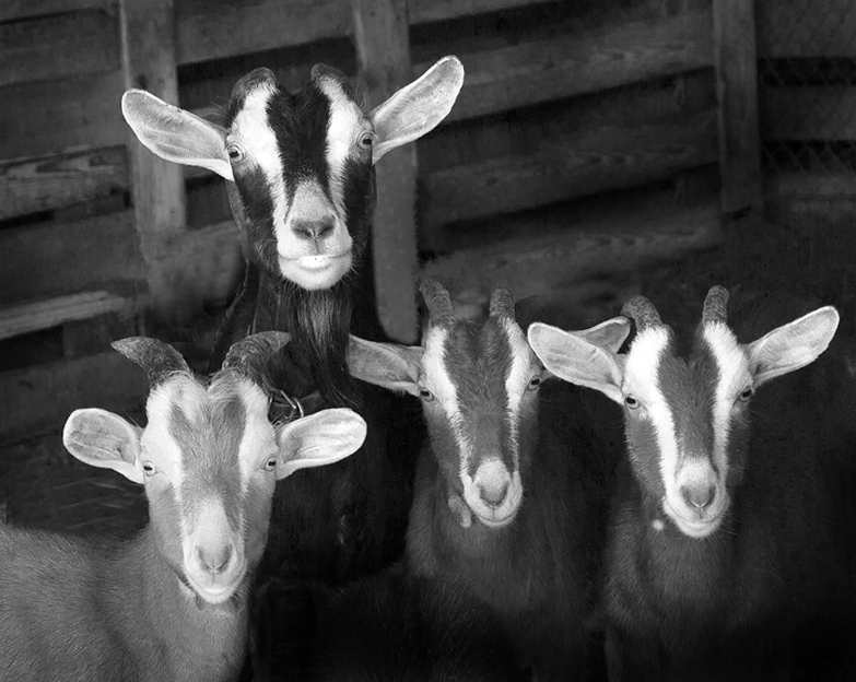 Picture of a Family of Goats