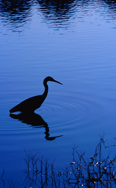 Blue Heron Pictures
