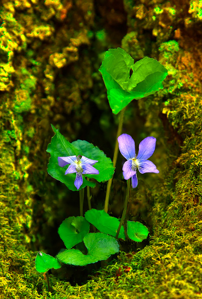 Spring Violets with a Tree's Opening of Moss at Elk Knob Trail