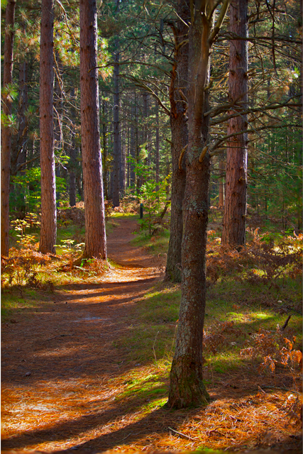 Fall path with shadows and pine trees