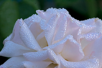 White rose covered in dew