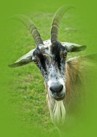 Billy Goat Photography
