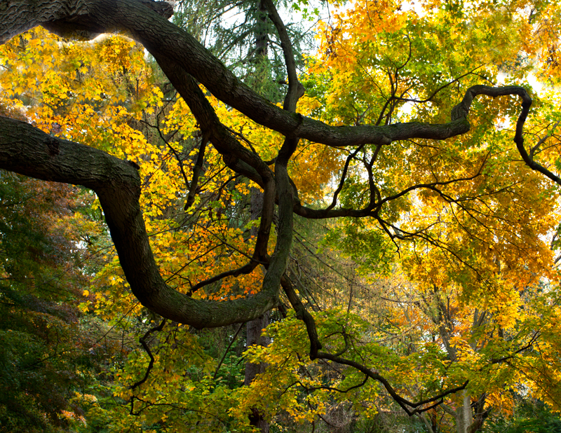 Pendle Hill Tree with Twisted Limbs in the Fall