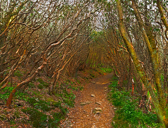 Rhododendron Tunnel Craggy Gardens, North Carolina
