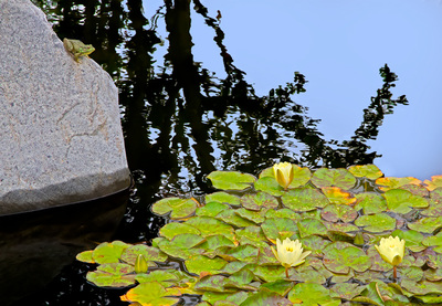 OARDC Wooster, Ohio frog and lily pads