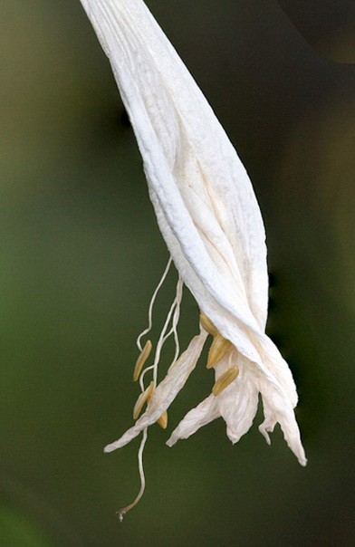 White Withering Flower