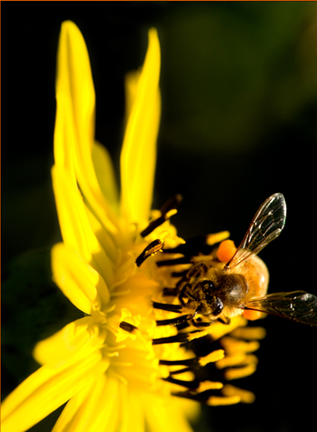 Honey Bee Pollinating a Bright Yellow Flower