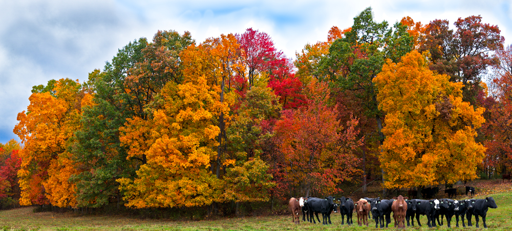 Fall scenery trees and cows Ohio nature photography farm