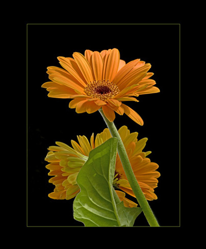 Orange Gerber Daisy Flower