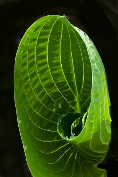 Curling Green Hosta Leaf