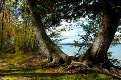 Twin trees in Big Harbor, Michigan
