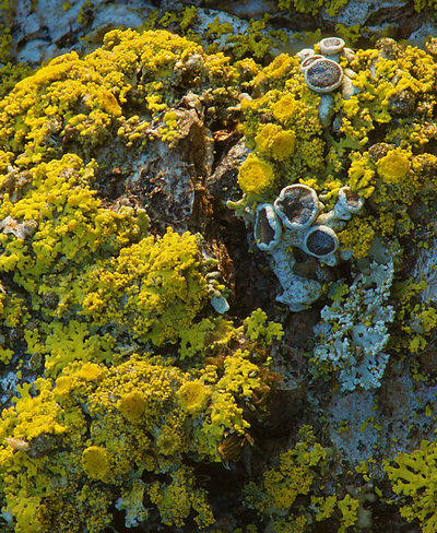 yellow lichen nature photography