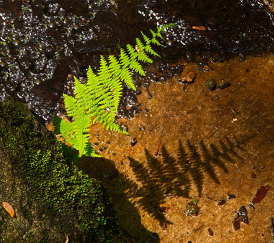 Green Fern at Linville Falls North Carolina