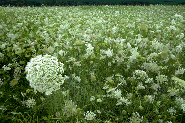 Fields of Queen Anne's Lace in Warsaw, Ohio