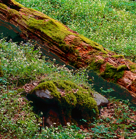 Mossy Nurse Log in Spring