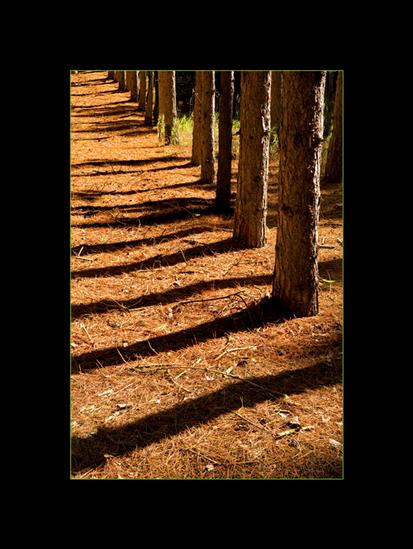 Fall Photography Rows of Pine Trees with Orange Needles