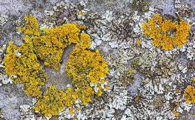 Yellow sunburst lichen