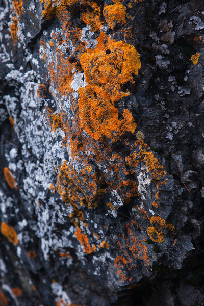 orange sunburst lichen