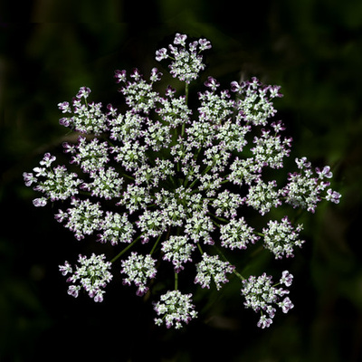 Purple tipped Queen Anne's Lace