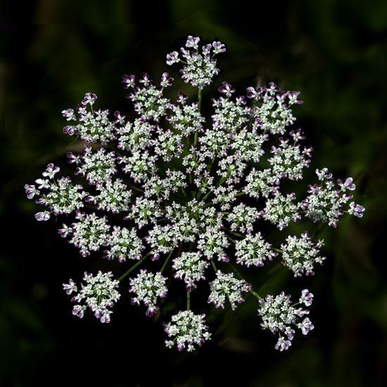 Purple and Pink Tipped Queen Anne's Lace Flower