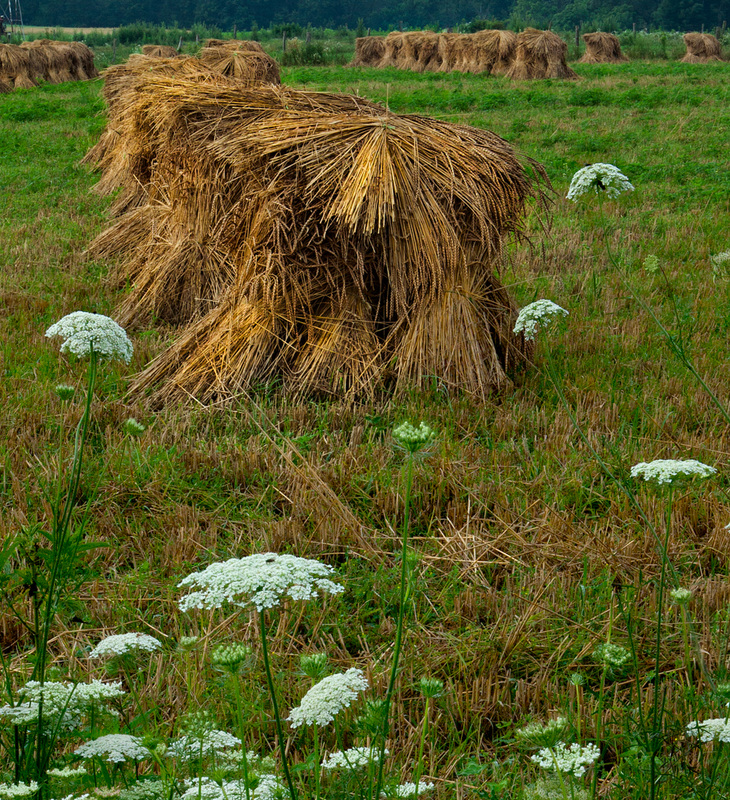 Wheat and Queen Anne's Lace Landscape Photography