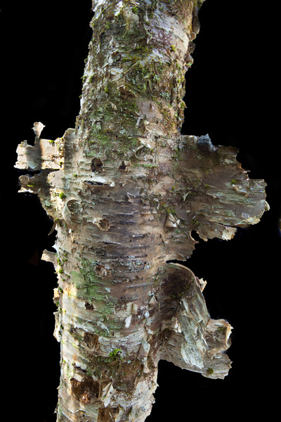 Lichen and birch bark