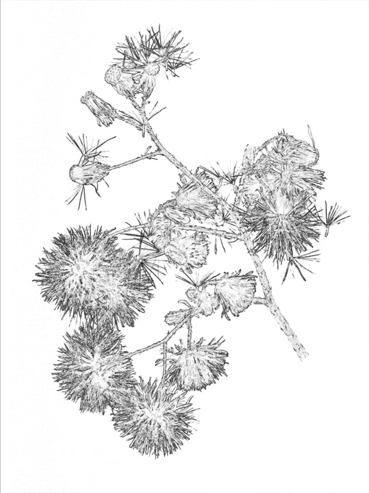 Dandelion puffs on a stem black and white art