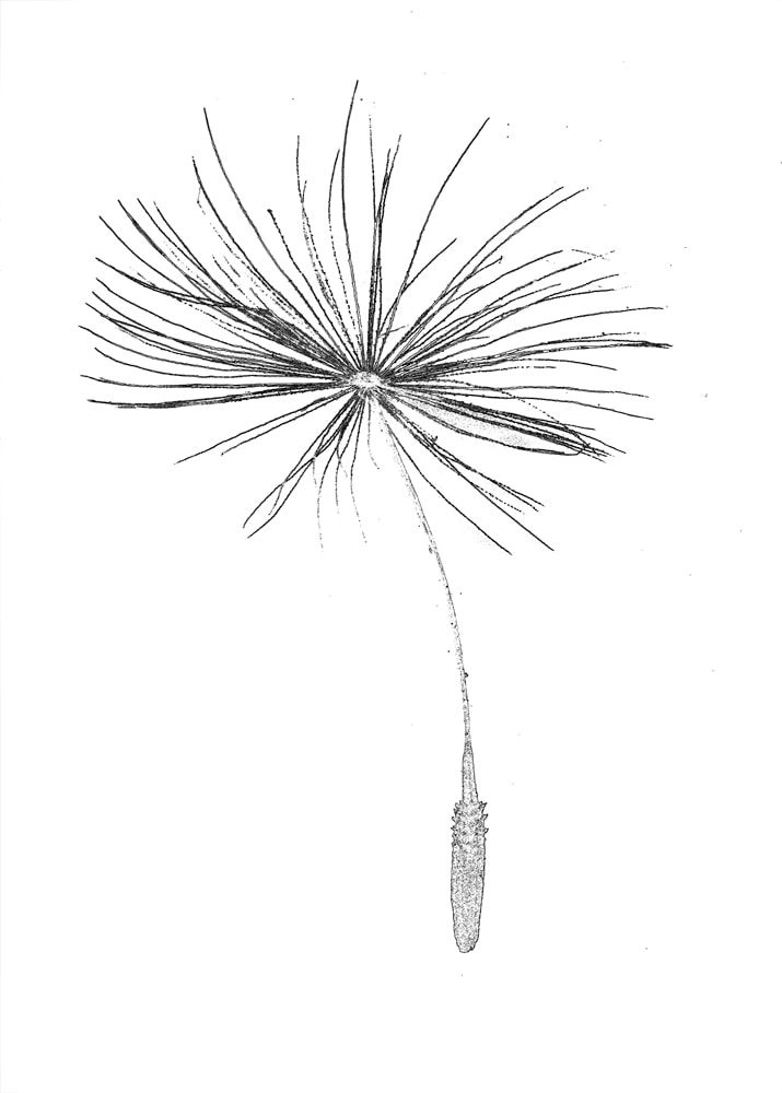 Black and white dandelion parachute