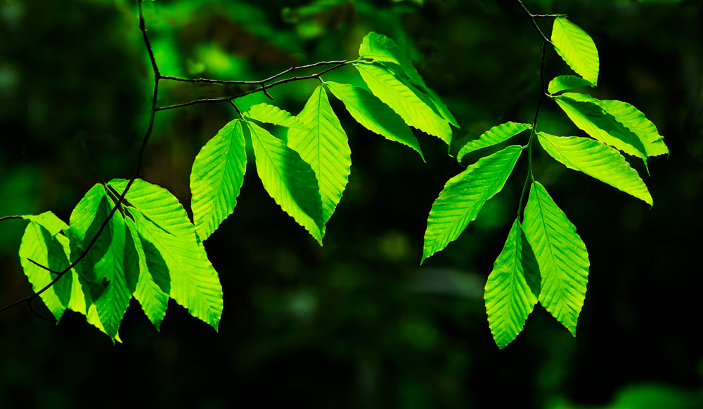 Green hanging tree leaves