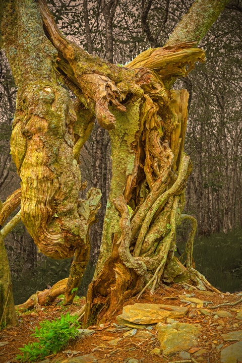 Twisted Tree Trunks Craggy Gardens North Carolina